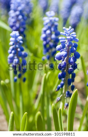 Blue flowers Hyacinths (in soft focus) - stock photo