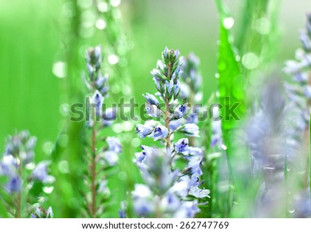 Blue flowers in dew in sun. Blurred background.
