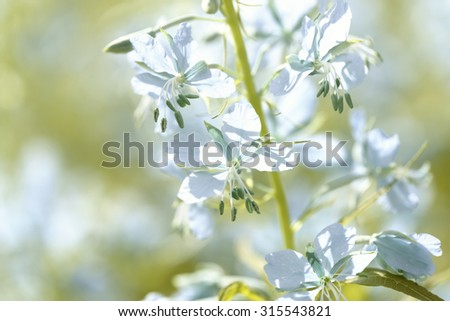 Blue flowers of fireweed (Epilobium or Chamerion angustifolium) in bloom - stock photo