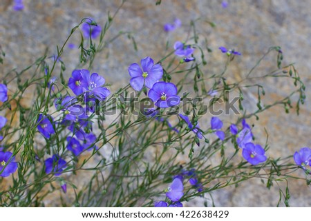 Blue flowers of flax. Close up - stock photo