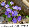 Blue flowers of Hepatica Nobilis close-up (Common Hepatica, liverwort, kidneywort, pennywort, Anemone hepatica) - stock photo