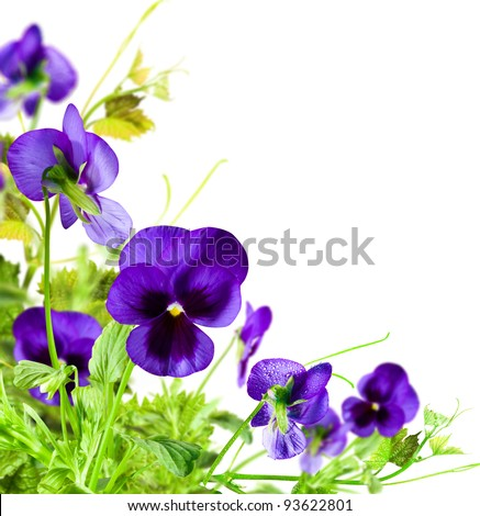 Blue flowers violet with green leafs on white  background - stock photo