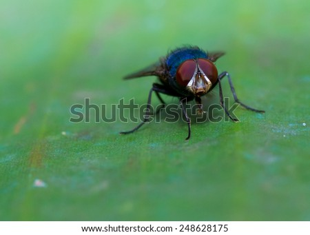 Blue fly with red eyes over a green leaf - stock photo