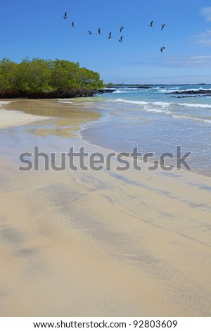 Blue footed boobies flying across the beach on Isabela - stock photo