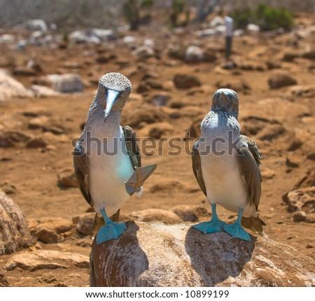 blue-footed boobies, galapagos islands, ecuador - stock photo