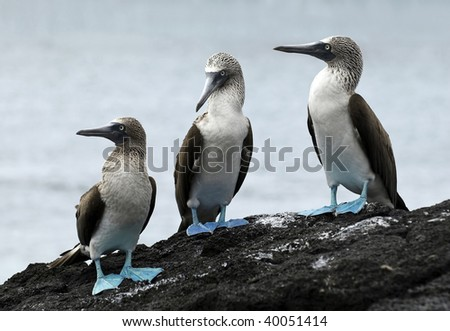 Blue Footed Boobies - Galapagos Islands, Ecuador. - stock photo