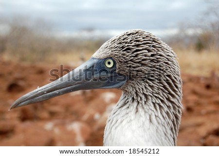 Blue-footed Boobies have yellow eyes which are placed on either side of their bill. They have permanently closed nostrils specialized for diving and breathe through the corners of their mouths. - stock photo
