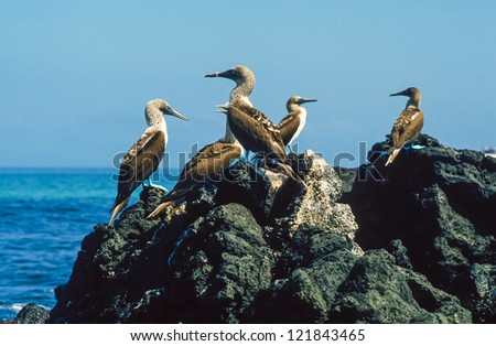 Blue-footed boobies in the Galapagos Islands, Ecuador - stock photo