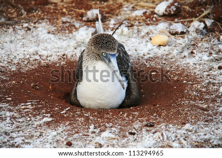 Blue Footed Booby - a bird endemic to Galapagos Islands, Ecuador - stock photo