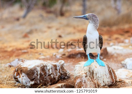 Blue footed booby at Galapagos island of  North Seymour - stock photo
