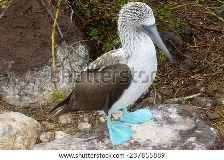 Blue-footed booby at Galapagos island of Seymur Norte. Ecuador, South America - stock photo