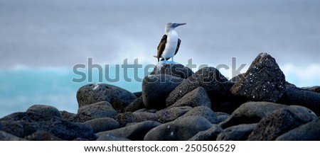 Blue-footed booby at Galapagos Islands. Ecuador - stock photo