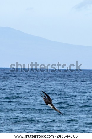Blue Footed Booby Bird Galapagos Islands National Park - Ecuador South America - stock photo