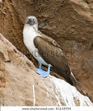 Blue-Footed Booby Bird, Specie of Galapagos Islands - stock photo