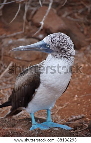 Blue-footed Booby, Galapagos. - stock photo