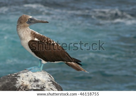 Blue-footed booby, Galapagos Islands - stock photo