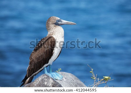 Blue-Footed Booby, Sula nebouxii, from the Galapagos Islands