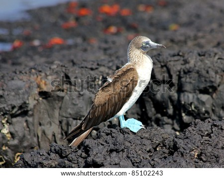 Blue-footed Booby (Sula nebouxii) in the Galapagos Islands - stock photo