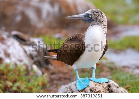 Blue-footed Booby (Sula nebouxii) on North Seymour Island, Galapagos National Park, Ecuador - stock photo