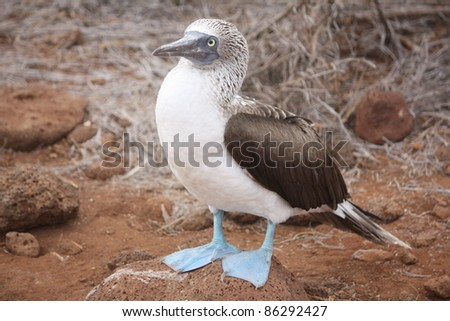 Blue footed booby surveying the Galapagos Island skyline. - stock photo