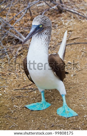 Blue-footed booby taking a step forward, Galapagos Islands