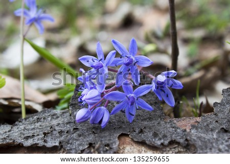 blue forest flowers - stock photo