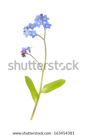 Blue Forget-me-not Flower isolated on white background with shallow depth of field - stock photo