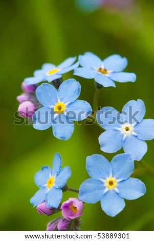 Blue forget-me-not macro in nature - stock photo