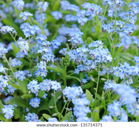 Blue Forget-me-not tender  flowers blossoming in spring time - stock photo