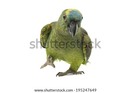 Blue fronted Amazon parrot isolated on white background. - stock photo