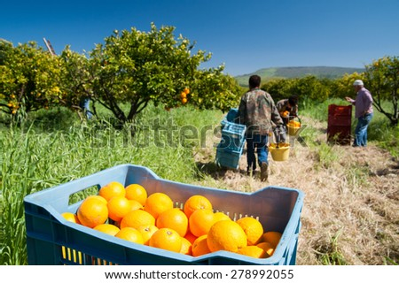 Blue fruit box full of oranges and pickers at work - stock photo