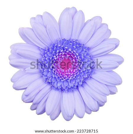 Blue gerbera flower isolated, macro, isolated on white - stock photo