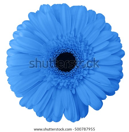 blue gerbera flower, white isolated background with clipping path. Nature. Closeup no shadows.