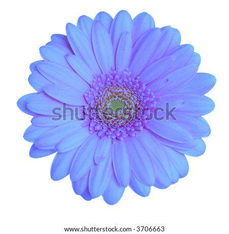 Blue gerbera head isolated on a white background