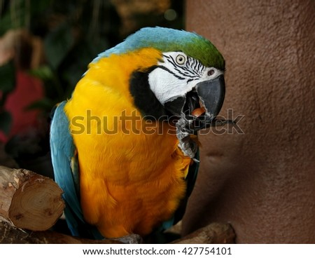 Blue & Gold macaw eating a nut; portrait