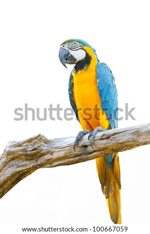 Blue & Gold Macaw isolated on a white background - stock photo
