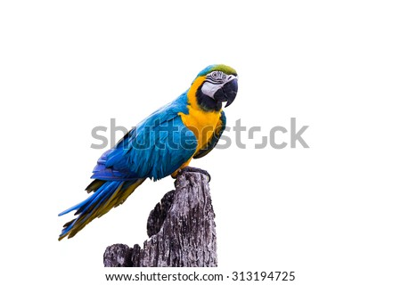 Blue Gold Macaw Parrot on white background - stock photo