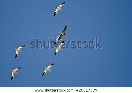 Blue Goose Flying with the White Snow Geese in a Clear Sky - stock photo