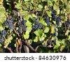 blue grape 22. - stock photo
