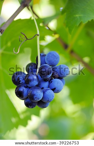 Blue grape - stock photo