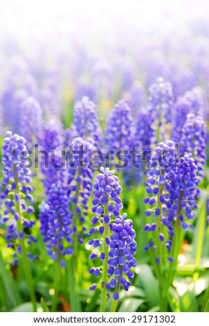 Blue grape hyacinths with soft focus and shallow dof in spring garden 'Keukenhof', Holland - stock photo