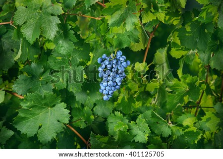 blue grape in green leaves - stock photo