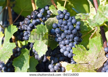 blue grapes in the sun - stock photo