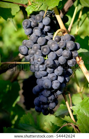 blue grapes in the vineyard 2. - stock photo
