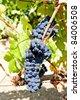 blue grapes, La Rioja, Spain - stock photo
