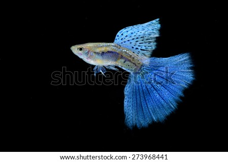 Blue Grass Guppy isolated on Black - stock photo