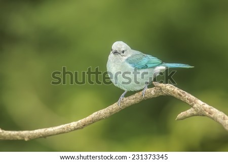 Blue-gray tanager on a branch photographed in Costa Rica. - stock photo