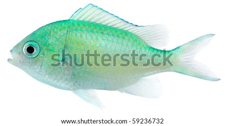 Blue Green Chromis isolated in white background. Damselfish (Chromis viridis). - stock photo
