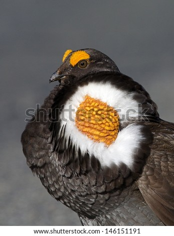 Blue Grouse, Dendragapus fuliginosus, Sooty Grouse, close up portrait showing highly detailed cheek sacks during spring mating display, against a natural background  in Mount Rainier National Park - stock photo