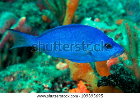 Blue Hamlet swimming over a coral reef. - stock photo